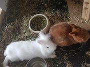 Kaninchen ein Löwenkopfkaninchen und ein