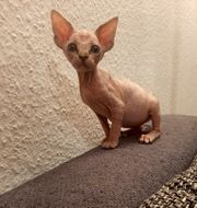 Canadian Sphynx Baby