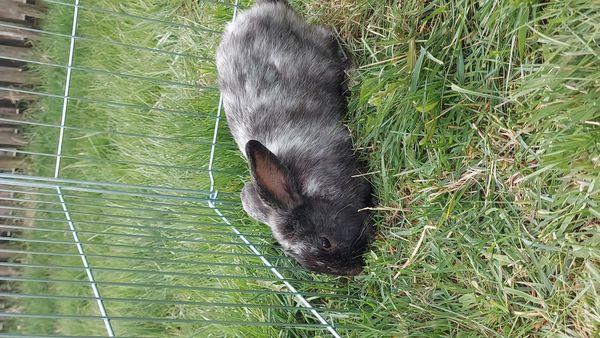 2 kastrierte Kaninchen abzugeben