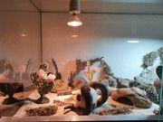 2 Leopardgeckos mit Terrarium