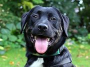 Bennolo 2 Jahre 7 Monate - Labrador-Appenzeller-Mix