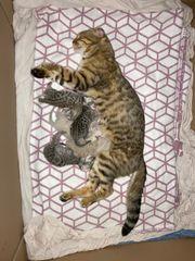 Bengal Kitten Snow und silver
