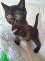 Britisch Kurzhaar BKH Kitten Abgabebereit