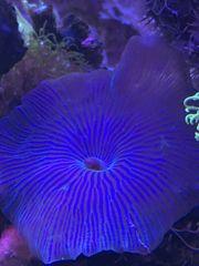 Koralle Scheibenanemone Discosoma lila-blau