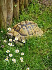 Griechisches Landschildkröten Weibchen THB NZ