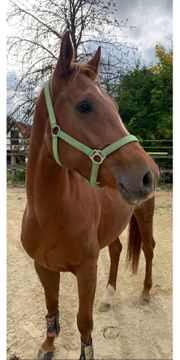 Irish Sports horse Stute 3