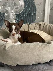 Chihuahua Welpe ist bereit für