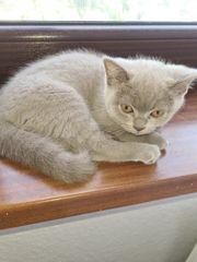 kitten Bkh lilac