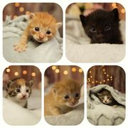 Wunderschöne Main Coon mix Kitten