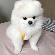 Super süße Pomeranian Zwergspitz Welpen