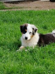 Australien Shepherd Junghund 20Wochen