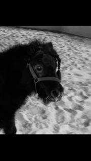 Pony Shetty Shetlandpony
