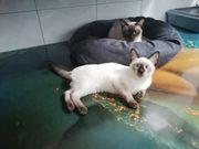 Siam-Thai babykätzchen