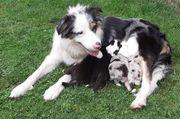 Australian Shepherd Welpen Blue-Merle Black-Tri