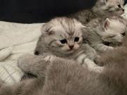 Bkh Silber shaded tabby kitten