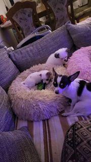 Chihuahua Reinrassig
