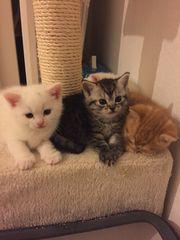 Britisch Kurzhaar- Mix Katzenbabys