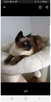 Siam Thaikatzen Geschwisterpäärchen sucht neues