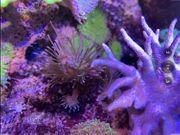 Anfänger Korallen Ableger von Weichkoralle