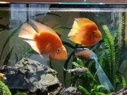 Papageienbuntbarsch Fisch