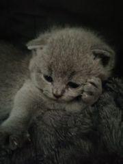 süße bkh Scottish fold kitten