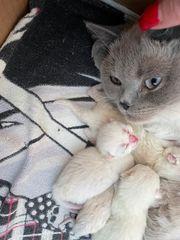 Bkh point Kitten