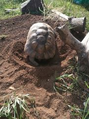 testudo Graeca Ibera Maurische landschildkröte