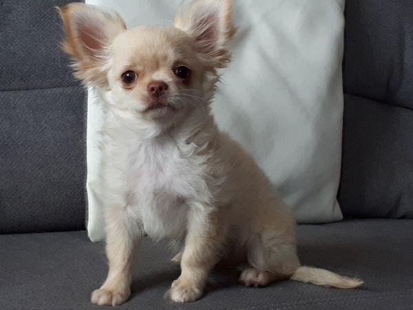 Chihuahua Welpe Rude In Eichendorf Hunde Kaufen Und Verkaufen Uber Private Kleinanzeigen