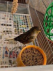 Ich verkaufe wunderschöne Gloster Kanarienvögel