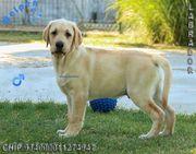 Familienfreundliche Labrador Welpen
