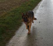 Deutscher Schäferhund mit Papieren