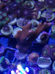 Meerwasser Montipora Digitata SPS LPS