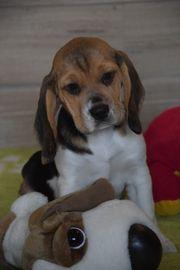 Beagle Welpen Hündinnen tricolour FCI