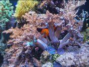 Weichkorallen Koralle Meerwasser