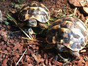 Griechische Landschildkröten aus 2020