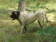 Old English Mastiff Hündin 9