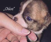 Chihuahua Welpe Hündin Schoko