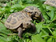 Vierzehenlandschildkröte