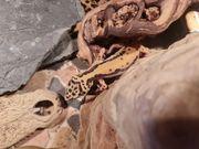 0 1 Bold Stripe Leopardgecko