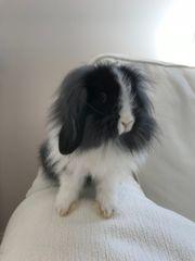 Mini Lop Kaninchen Zwergkaninchen Zwergwidder