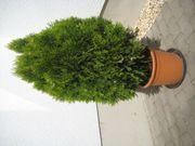 Schöne grün-gelbe Scheinzypresse im Topf