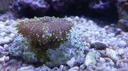 Anemone Ricordea yuma meerwasser