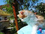 Süße Maine Coon Kitten Katzen