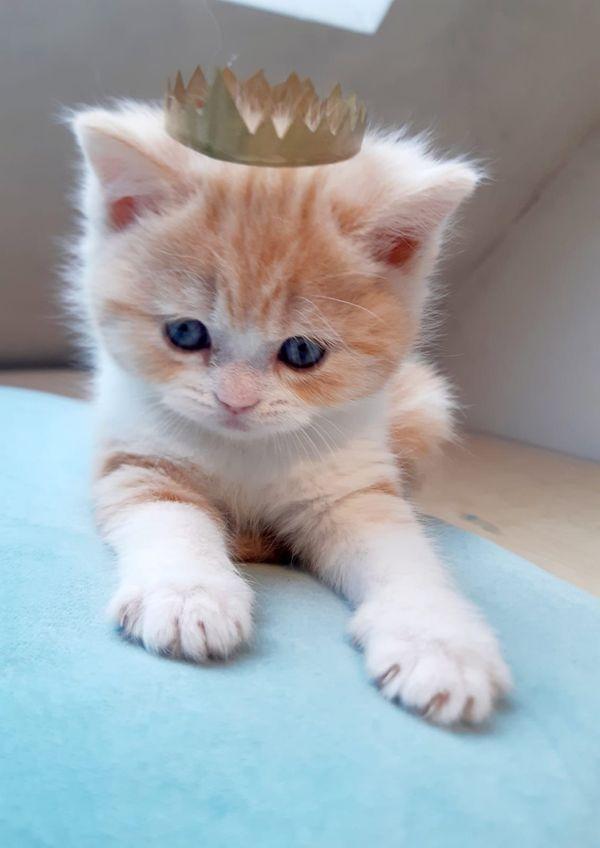Wunderschöne reinrassigen BKH Kitten mit