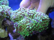 Korallen Ableger Euphyllias Axifuga