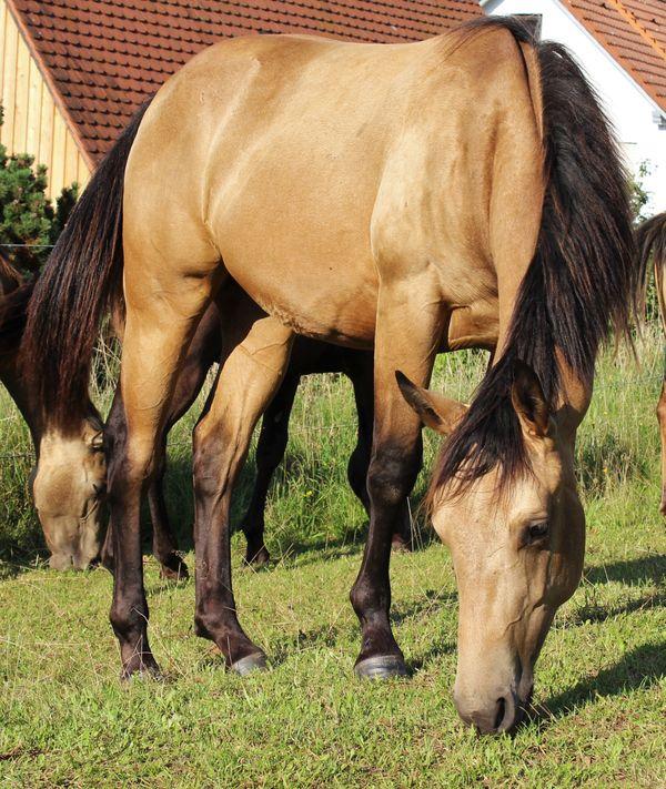 Quarter Horse Hengst Jährling mit