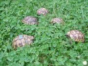 Maurische Landschildkröten-Eigene Nachzuchten 2020 mit