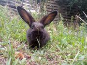 Kaninchen Babys Mischlinge