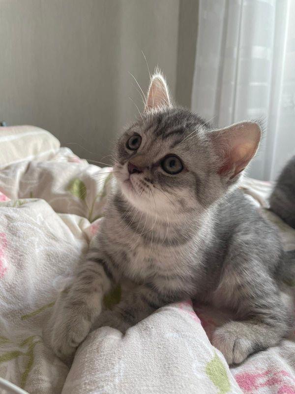 Wunderschöne BKH Kitten (männlich + weiblich)