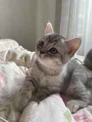 Wunderschöne BKH Kitten männlich weiblich